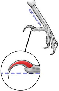 Diagram of a nail with blood supply