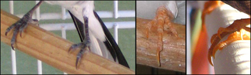 Finches with normal length nails