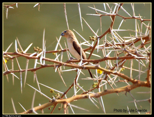 African Silverbill by Julie Dewilde