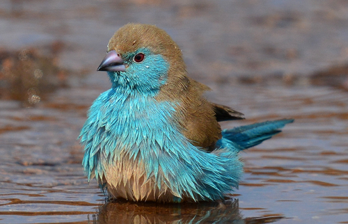 blue-breasted cock