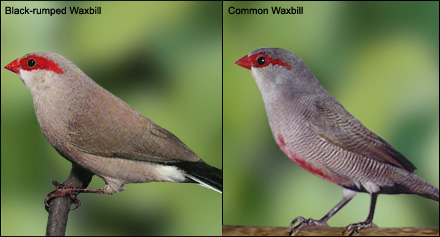 Comparing the Black-rumped and Common Waxbills