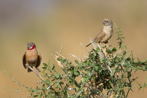 Cut-throat Finches