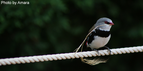 Diamond Firetail with nest token