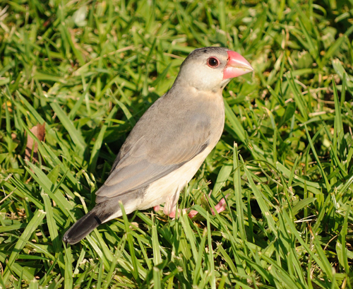 Java Sparrow Juvenile
