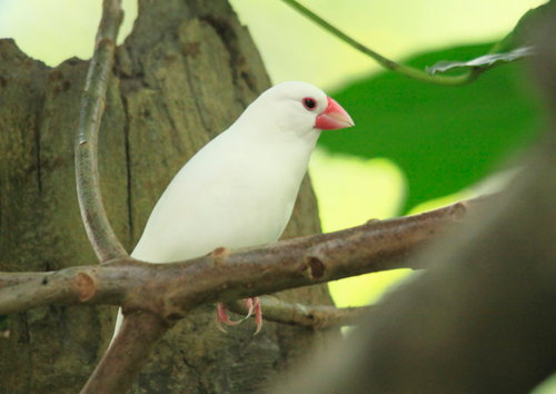White Java Sparrow
