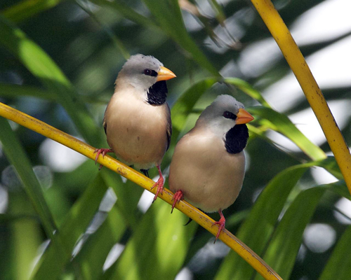 Long-tail Finches; photo by Lip Kee Yap