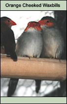 Orange cheeked waxbills