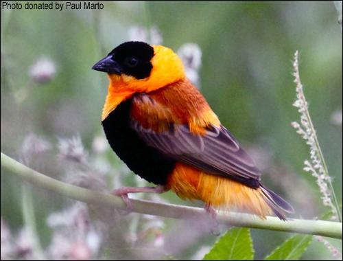 Orange Weaver cock