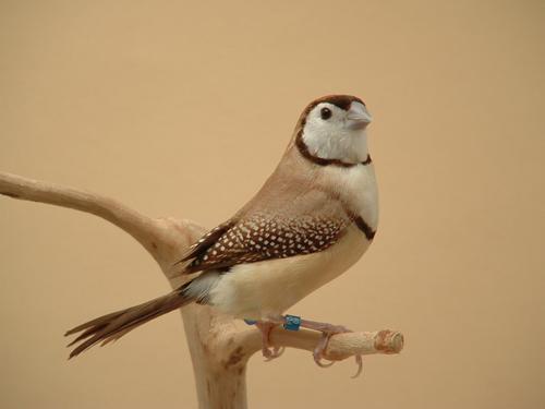 Fawn owl