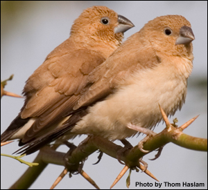 African Silverbill